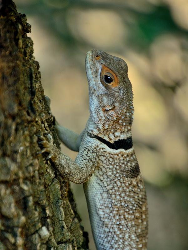 Мадагаскарская игуана