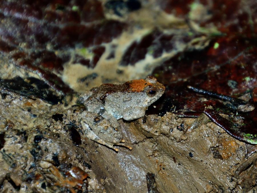 Калимантанская плавунья