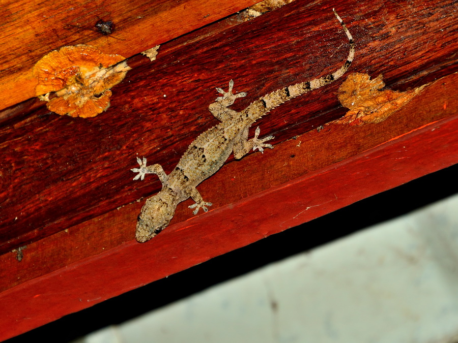 Домовый геккон