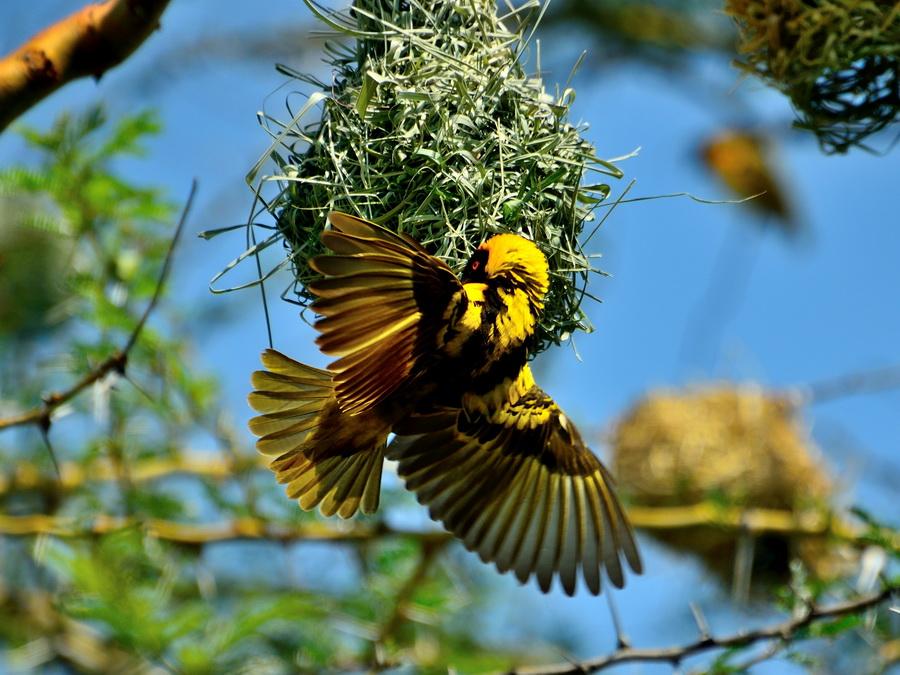Самец ткача у гнезда