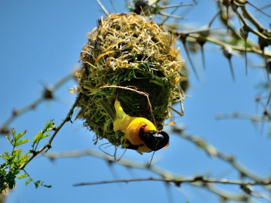 Ткач строит гнездо