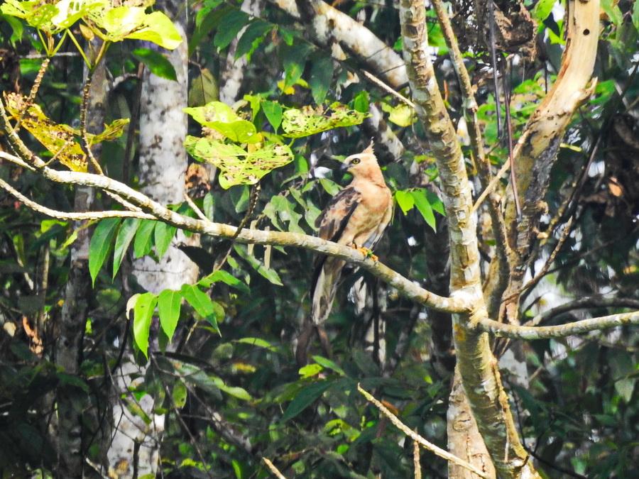 Джунглиевый хохлатый орёл
