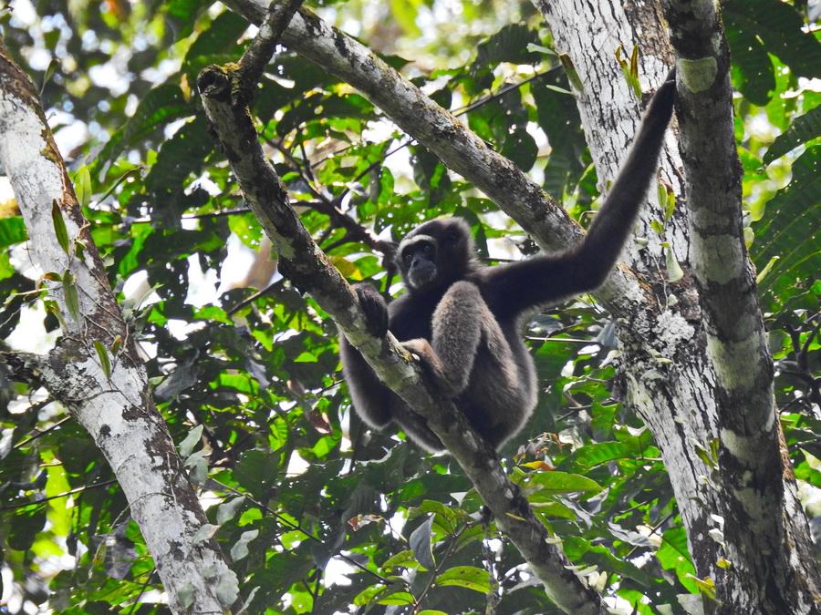 Северный борнейский гиббон