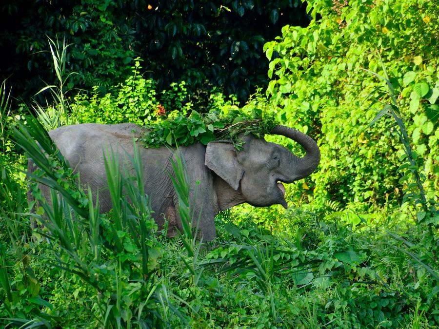 Слон-пигмей