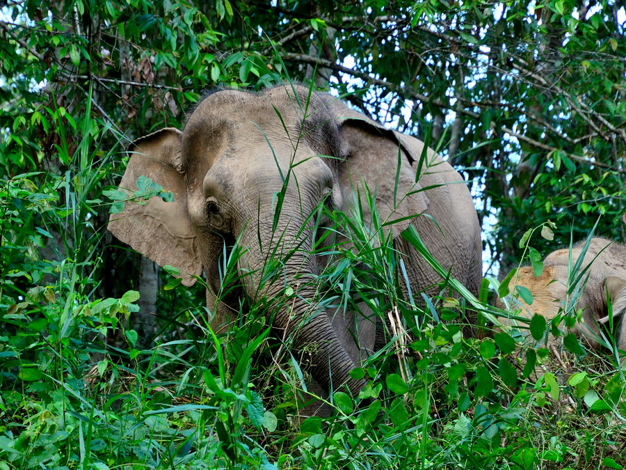 Борнейский слон