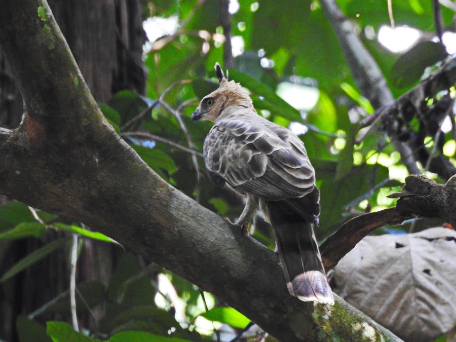 Джунглевый хохлатый орёл