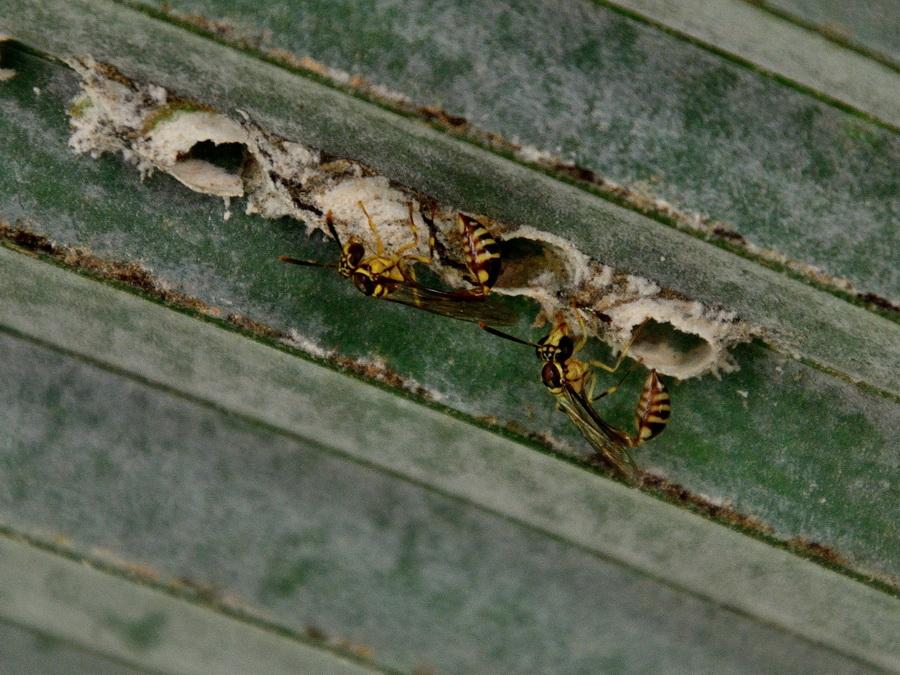 Одиночные осы