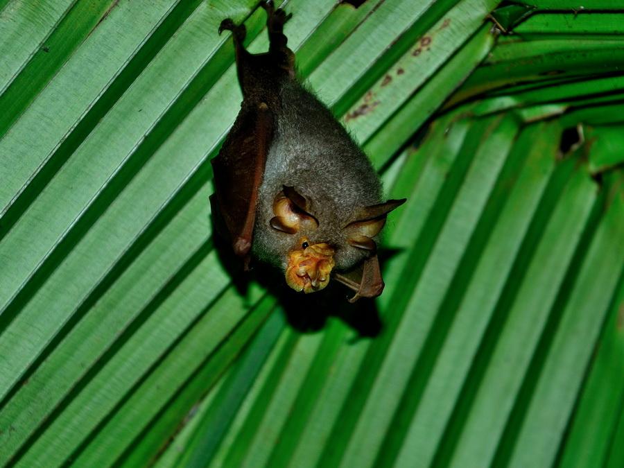 Летучая мышь на Борнео