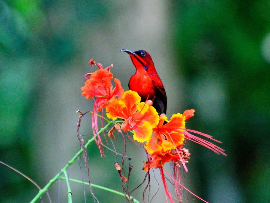 Малиновая нектарница