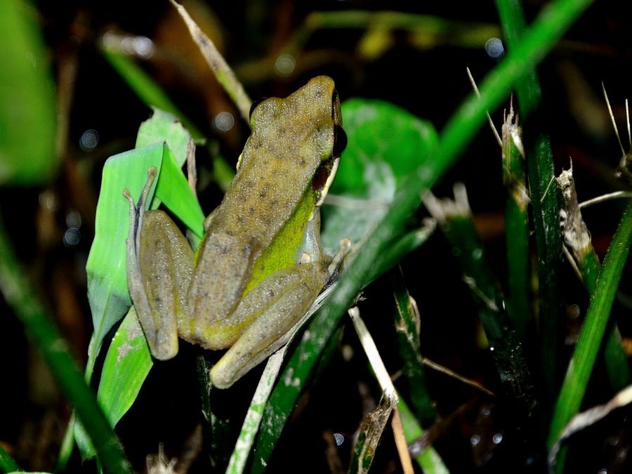 Борнейская белогубая лягушка
