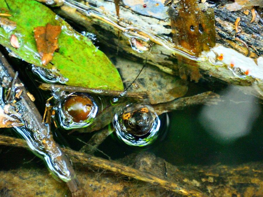 Черепаха на Борнео