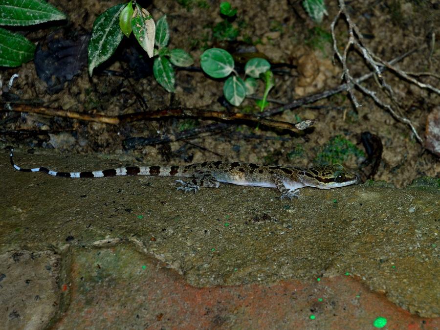 Кривопалый геккон
