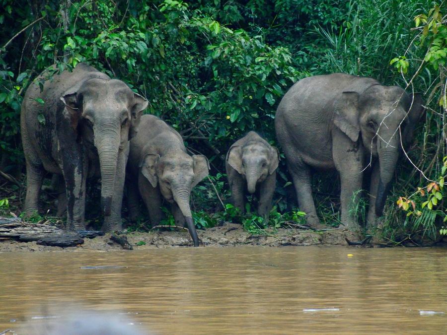 Борнейские слоны
