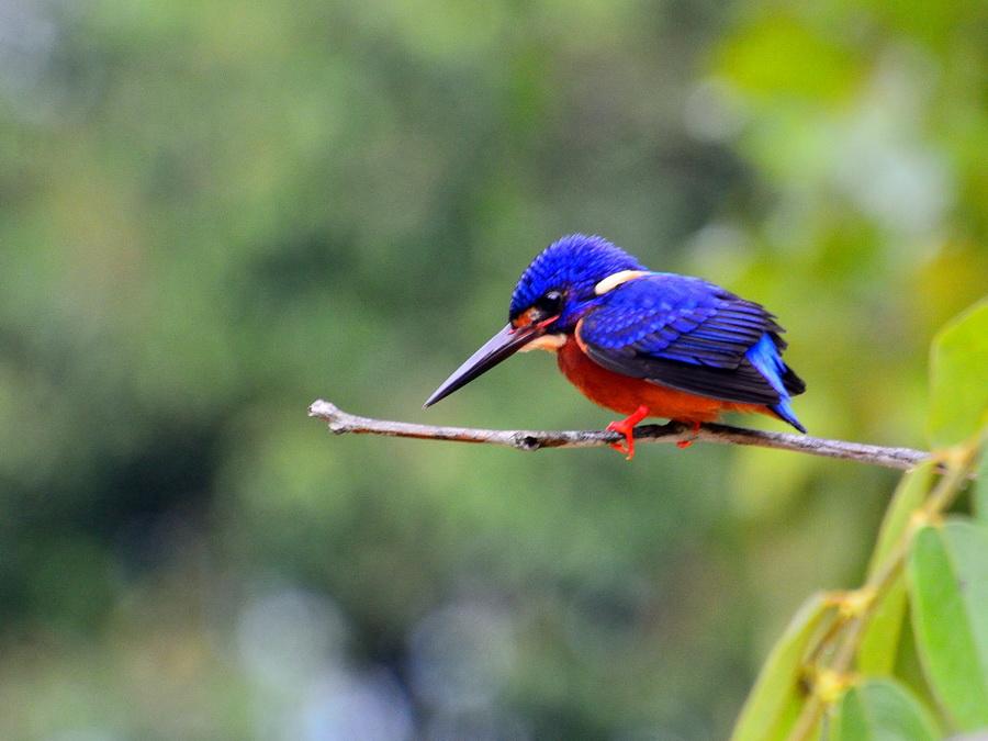 Синеухий зимородок