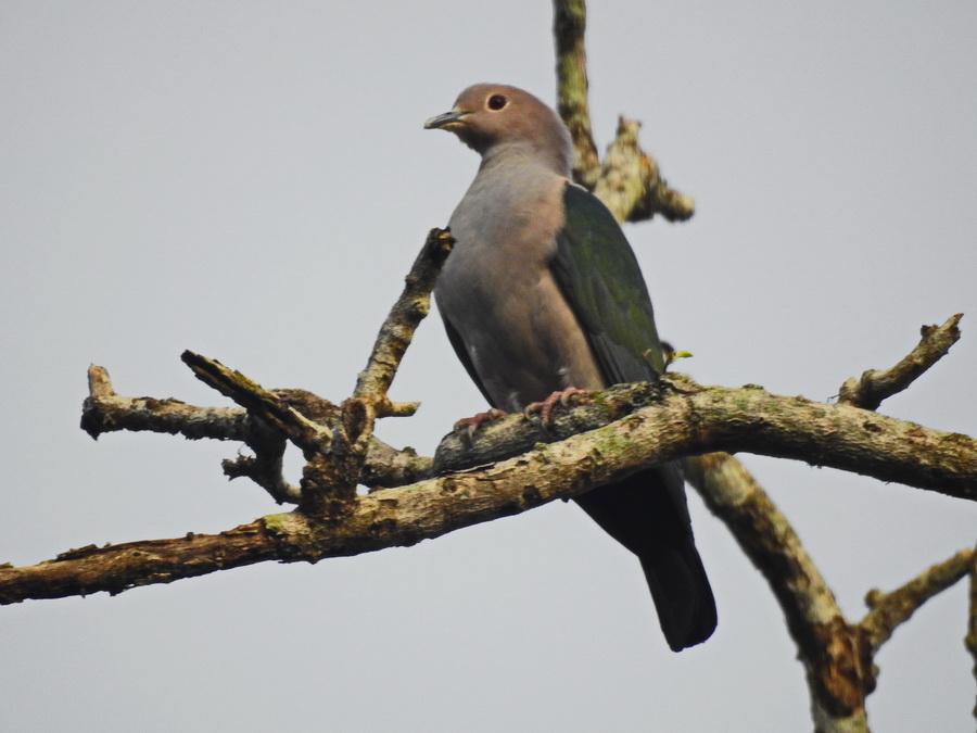 Бронзовый плодовый голубь