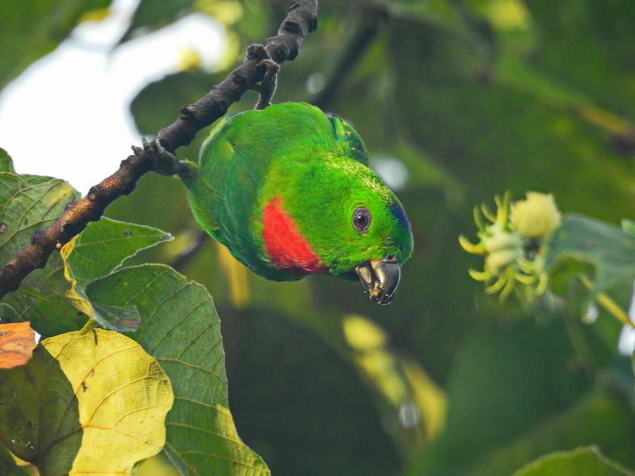 Висячий попугайчик