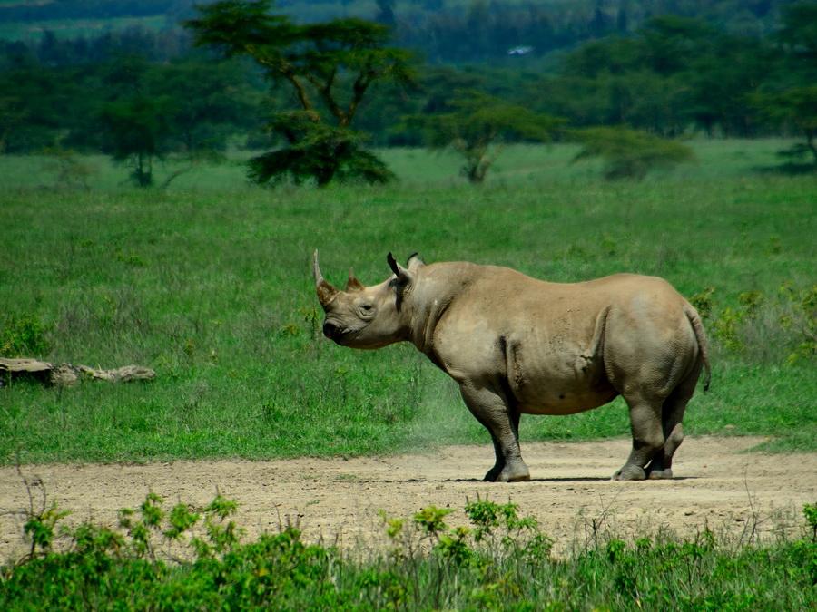 Чёрный носорог