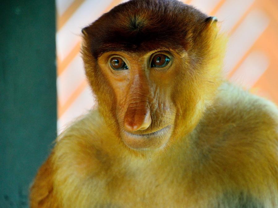 Портерт обезьяны носача