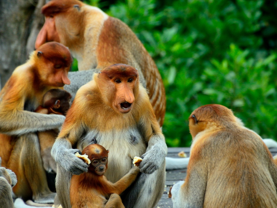 Самка обезьяны носача