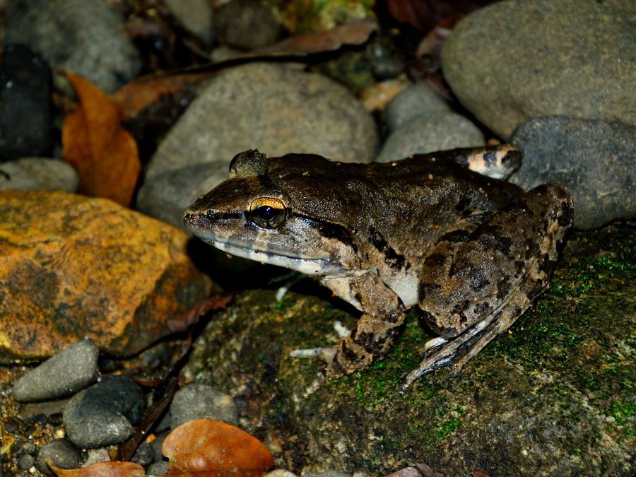 Гигантская речная лягушка