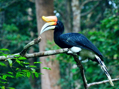 Малайский калао