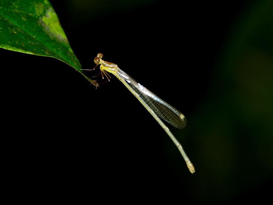 Стрекоза стрелка самка