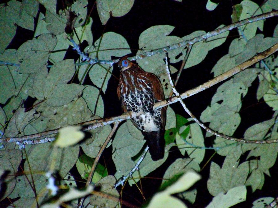 Борнейский огненоспинный фазан