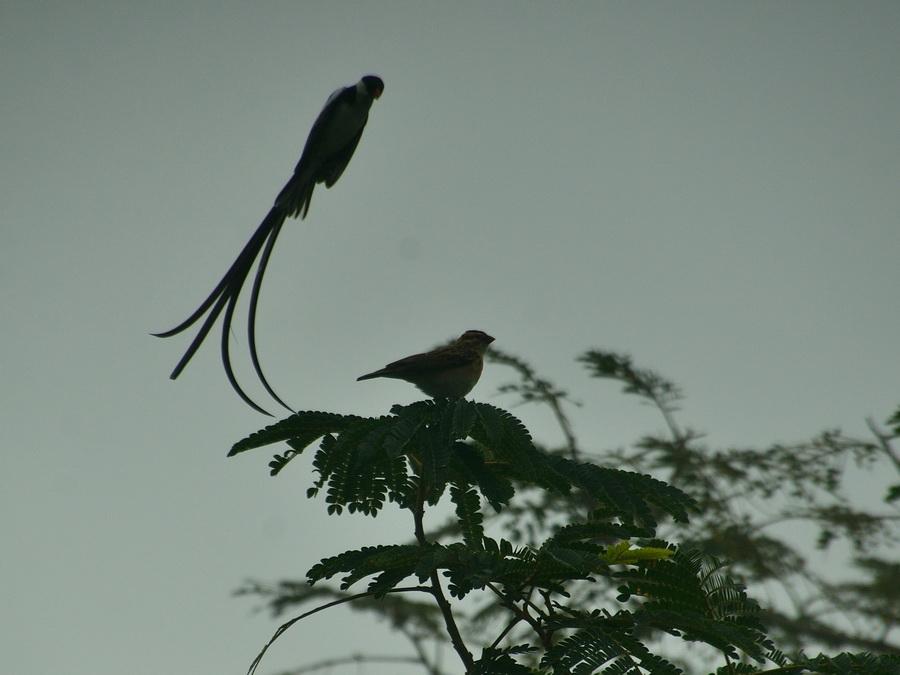 Доминиканская вдовушка