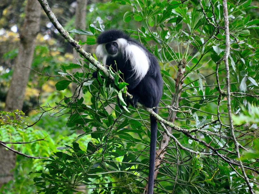 Ангольский колобус