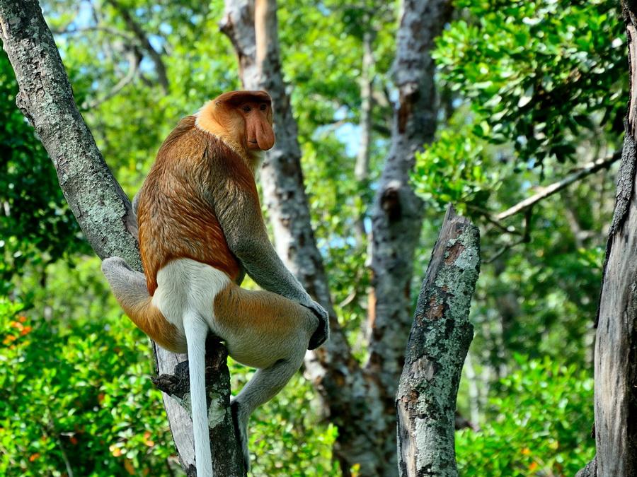 Самец обезьяны носача