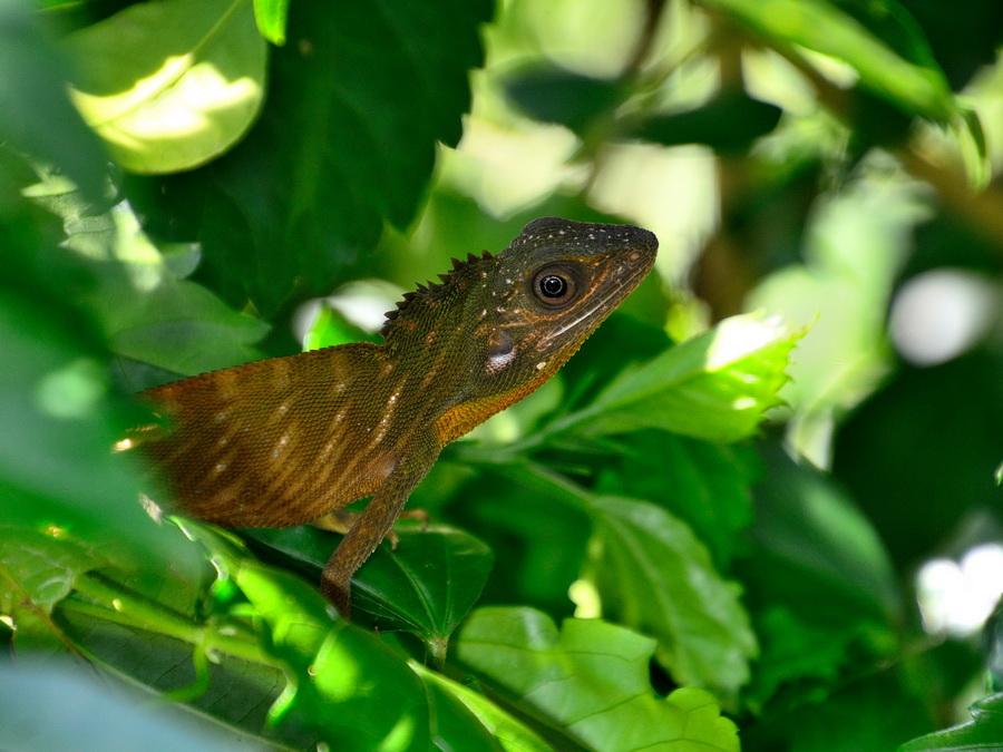 Борнеоский калот