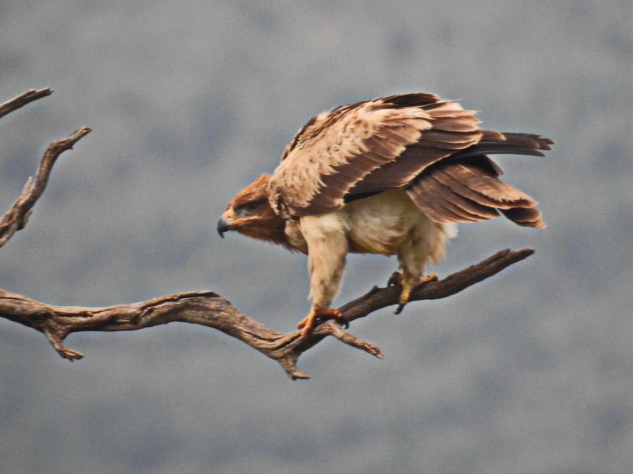 Саванный орёл