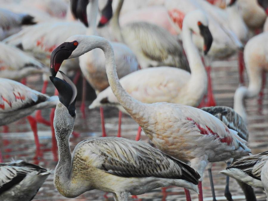 Фламинго кормит птенца