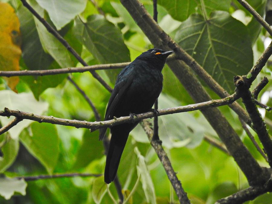 Чёрный африканский личинкоед