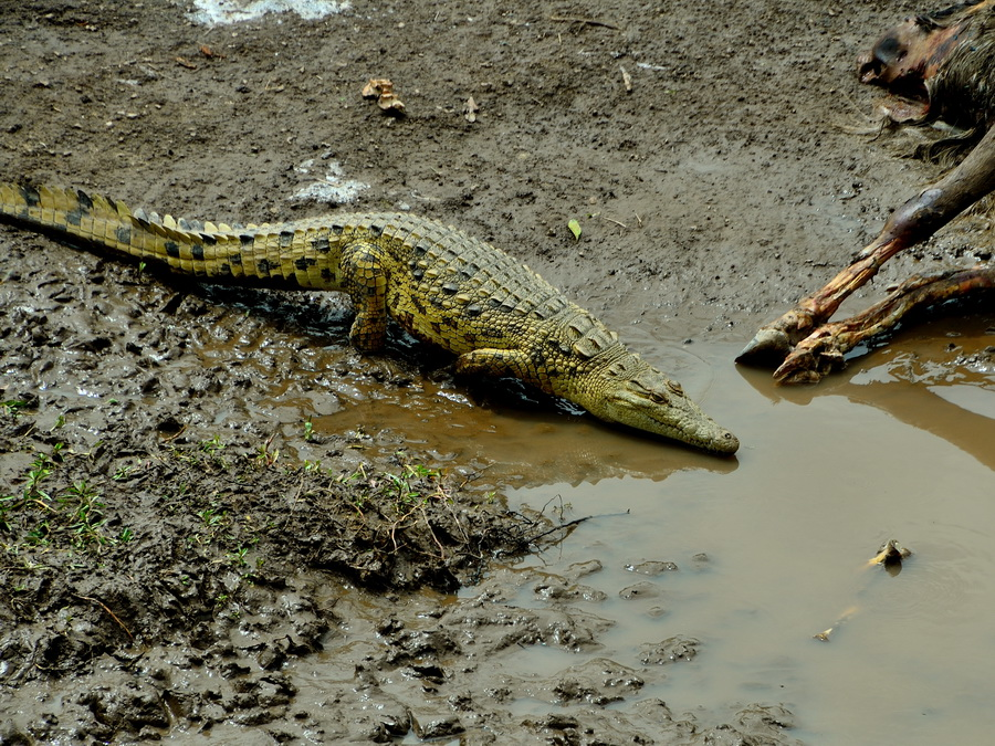 Нильский крокодил