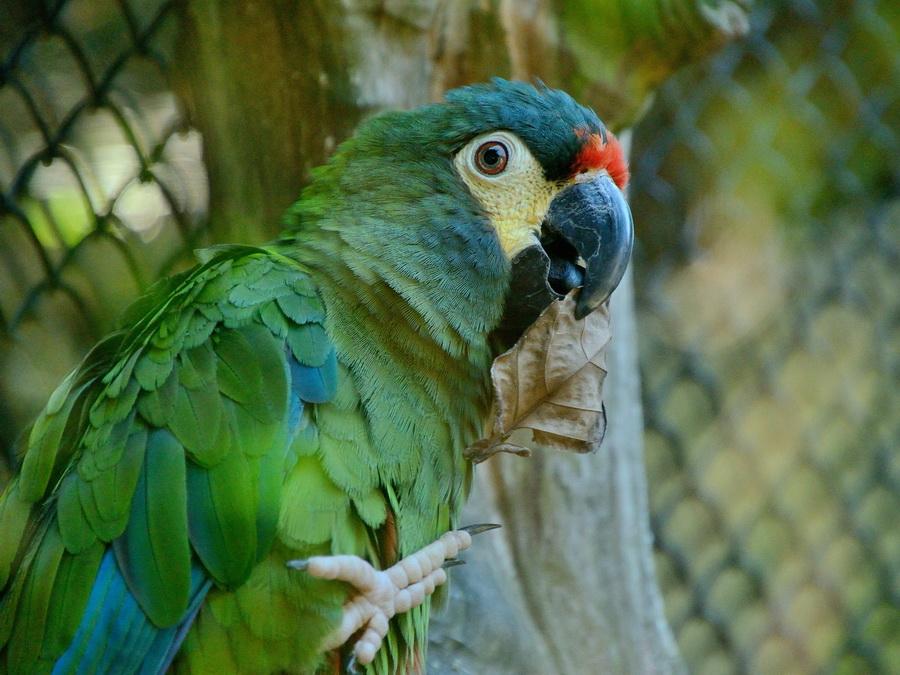 Синекрылый ара