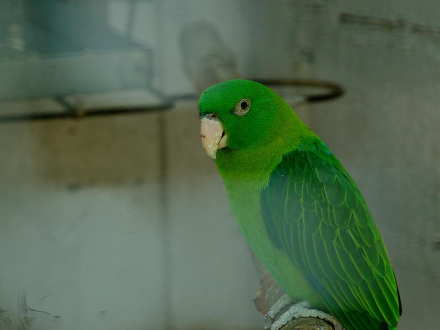 Синеспинный попугай