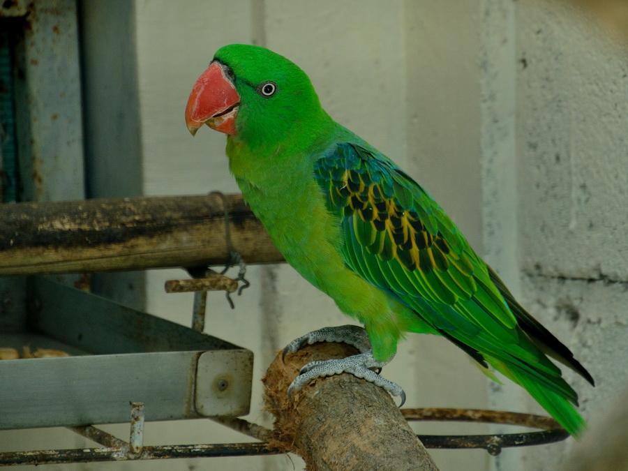 Большеклювый попугай