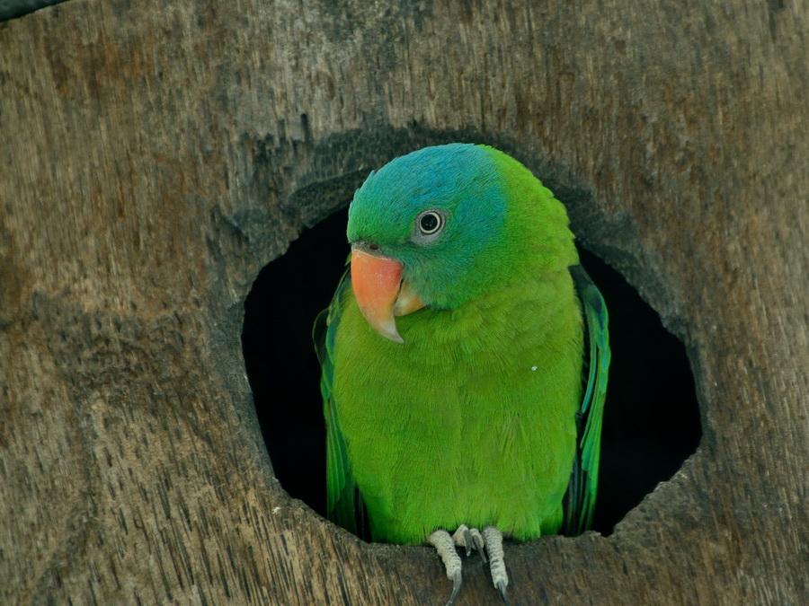 Синешапочный попугай