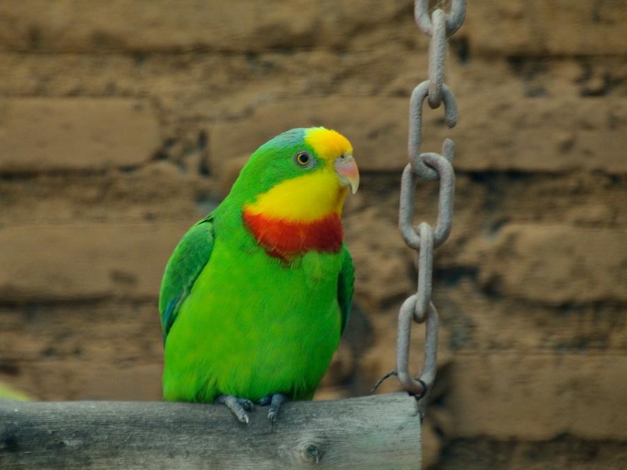 Роскошный попугай