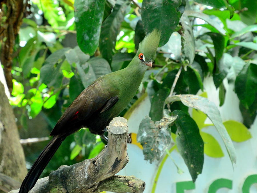Гвинейский турако