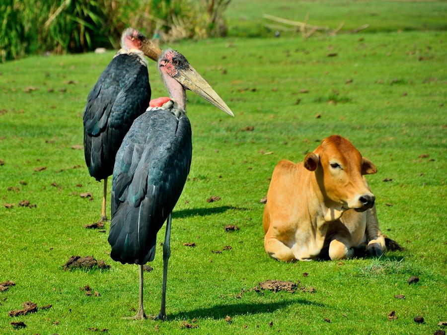 Африканские марабу
