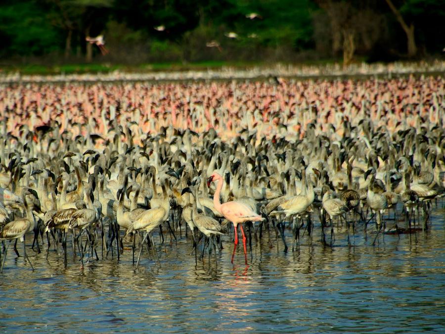 Малые фламинго