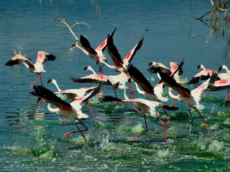 Фламинго на взлёте