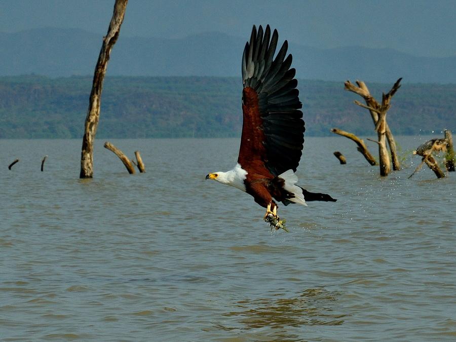 Орлан-крикун