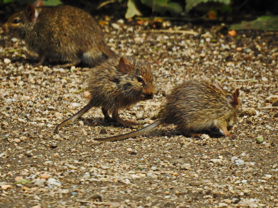 Травяные мыши