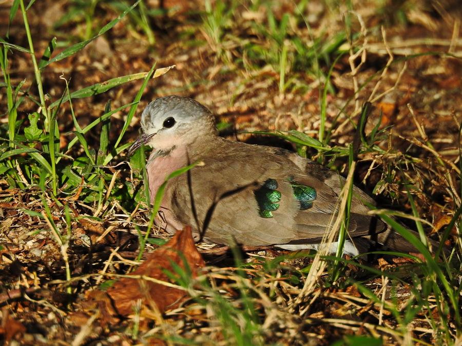 Зеленокрылая лесная горлица