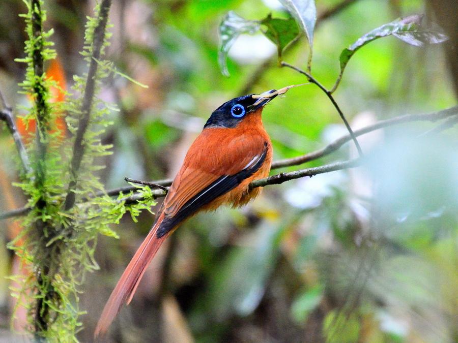 Мадагаскарская райская мухоловка