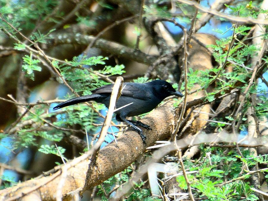 Черноватый певчий сорокопут