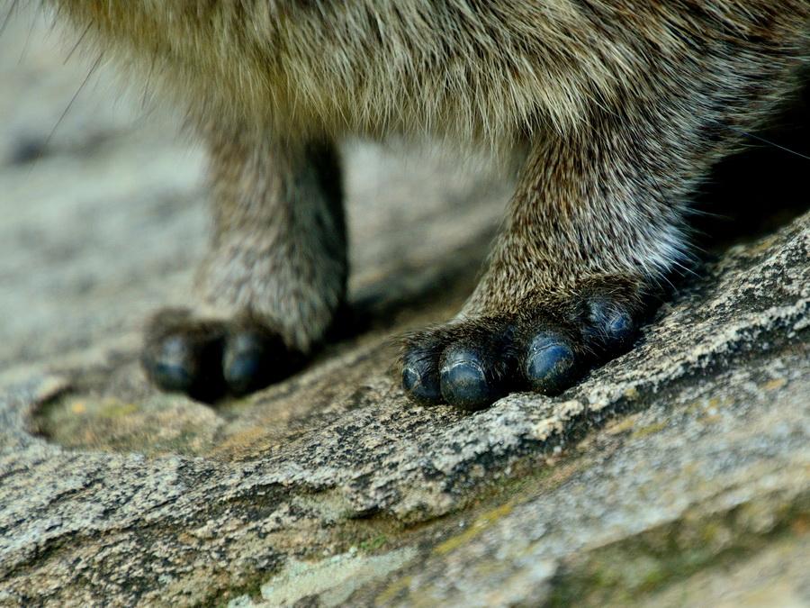 Нога капского дамана